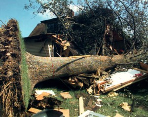 Large tree knocked over by storm