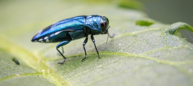 The Invasive Emerald Ash Borer of Minnesota: Wrecking Havoc on Minnesota's Ash Trees